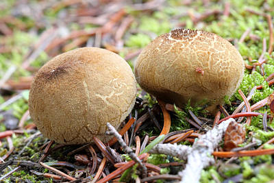 Photograph - Puffballs by Doug Lloyd