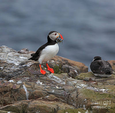 Food Web Photograph - Puffin With Sand Eels by Louise Heusinkveld