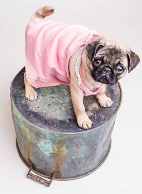 Adorable Photograph - Pug Puppy Pink Sun Dress by Edward Fielding