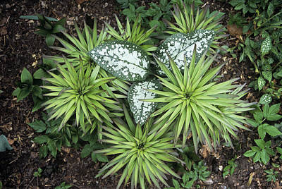 Hosta Sp Photograph - Pulmonaria 'sissinghurst White' Foliage by Archie Young