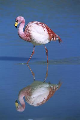 Photograph - Puna Flamingo Phoenicopterus Jamesi by Tui De Roy