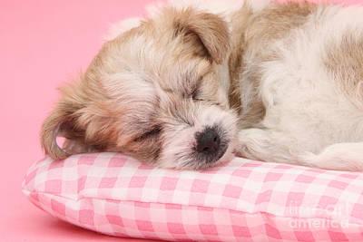 Bichon Frise Photograph - Pup Asleep On Cushion by Mark Taylor
