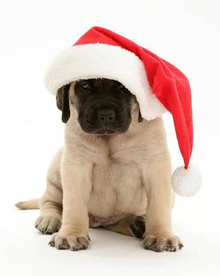 Mastiff Pup Photograph - Puppy In A Santa Hat by Jane Burton