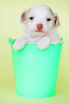 Colored Background Photograph - Puppy In Bucket by Amy Lane Photography