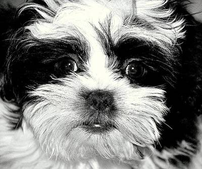 Puppy Love Print by Antonia Citrino