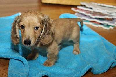 Photograph - Puppy On Blue Blanket by Diana Haronis