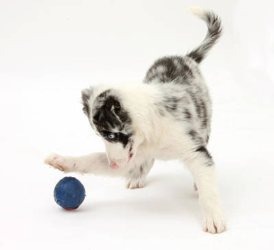 House Pet Photograph - Puppy Playing With A Ball by Mark Taylor