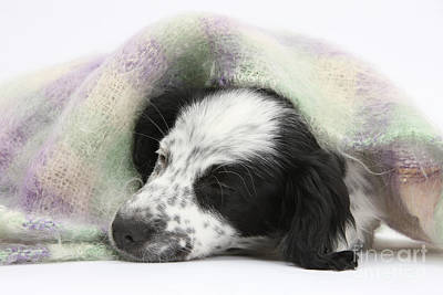 Puppy Sleeping Under Scarf Print by Mark Taylor