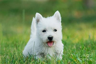 Puppy West Highland White Terrier Art Print by Waldek Dabrowski