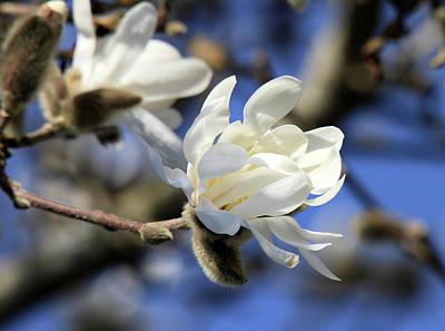 Photograph - Pure Magnolia Flower by Pierre Leclerc Photography