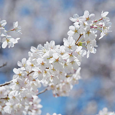 Cherry Blossoms Photograph - Pure by Photograph by Paul Atkinson