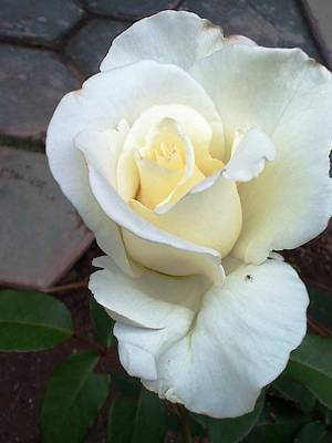 Photograph - Pure White Rose by Leslye Miller
