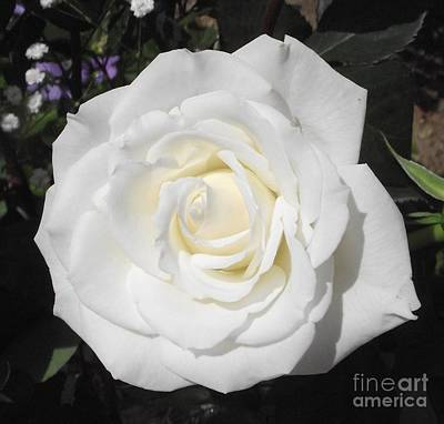 Photograph - Pure White Rose by Michelle Welles