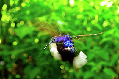 Photograph - Purple And Blue Hummingbird  by Harry Spitz