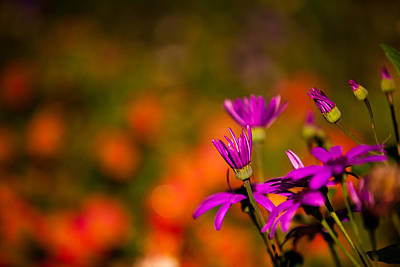 Photograph - Purple And Orange Flowers by Joseph Bowman