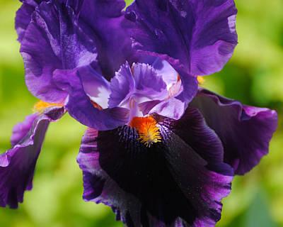 Photograph - Purple And Orange Iris 3 by Jai Johnson