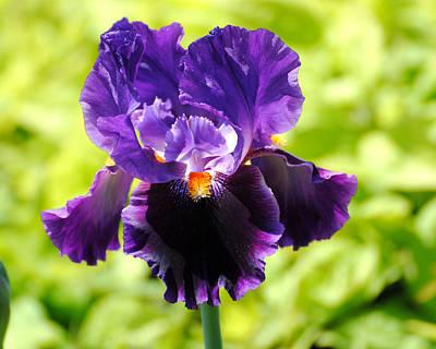 Photograph - Purple And Orange Iris by Jai Johnson