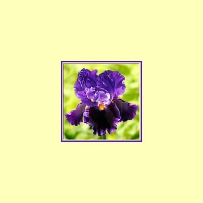 Photograph - Purple And Orange Iris Photo Square by Jai Johnson
