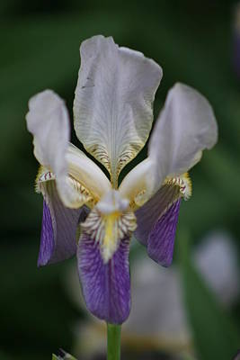 Purple And White Iris 2 Art Print by George Miller