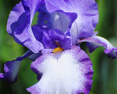 Photograph - Purple And White Iris Flower by Jai Johnson