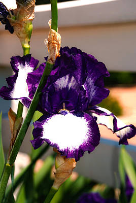 Flora Photograph - Purple And White Iris by Kelly Rader