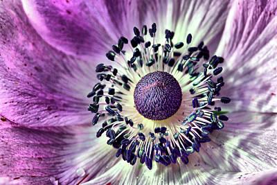 Photograph - Purple Anemone by Brian Davis