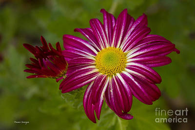 Photograph - Purple Aster Flower Close Up by James BO Insogna