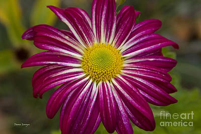 Purple Photograph - Purple Aster Flower Power by James BO  Insogna