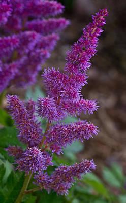 Spirea Photograph - Purple Astilbe Bloom 2 by Douglas Barnett