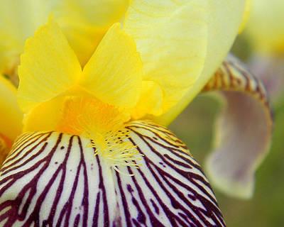 Photograph - Purple Bearded Iris by Mark J Seefeldt