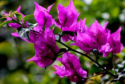 Photograph - Purple Bougainvillea  by Elizabeth  Doran