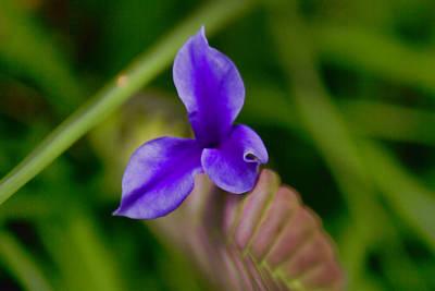 Purple Bromeliad Flower Print by Douglas Barnard
