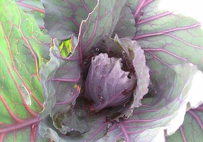 Photograph - Purple Cabbage  by Deb Martin-Webster