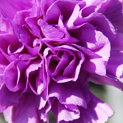 Photograph - Purple Carnation by Aimee L Maher Photography and Art Visit ALMGallerydotcom