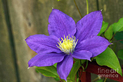 Art Print featuring the photograph Purple Clematis by Denise Pohl