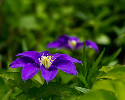 Photograph - Purple Clematis Flower by Lori Coleman