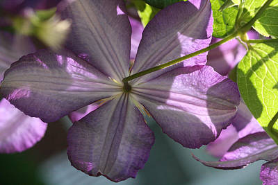 Art Print featuring the photograph Purple Clematis Rear by Peg Toliver