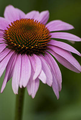 Photograph - Purple Coneflower by Jason Pryor