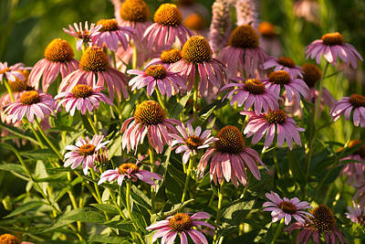 Purple Coneflower Original