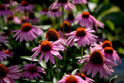 Photograph - Purple Coneflower by Van Corey