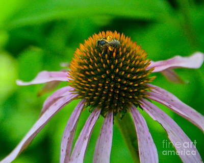 Photograph - Purple Coneflower With Bee by Carol  Bradley