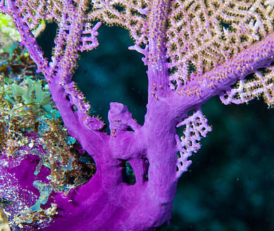 Photograph - Purple Coral by Jean Noren
