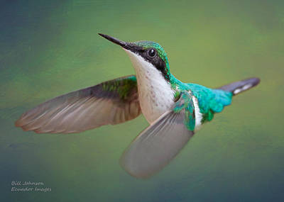 Hummingbirds Photograph - Purple-crowned Fairy Female by Ecuador Images
