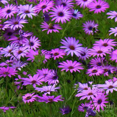 Purple Daisies Square Print by Carol Groenen