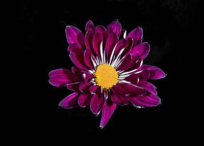 Photograph - Purple Daisy. by Chris  Kusik