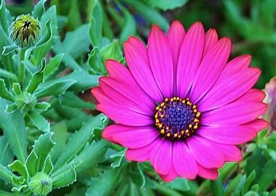 Photograph - Purple Daisy by Kelly Nicodemus-Miller