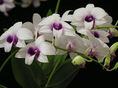 Purple Dendrobium Stem Art Print by Andrea Drake