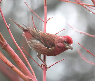 Photograph - Purple Finch by Angie Vogel