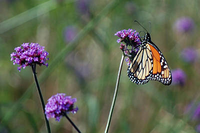 Photograph - Purple Flower With Butterfly by Harvey Barrison