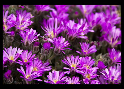 Photograph - Purple Flowers  Card by Raffaella Lunelli